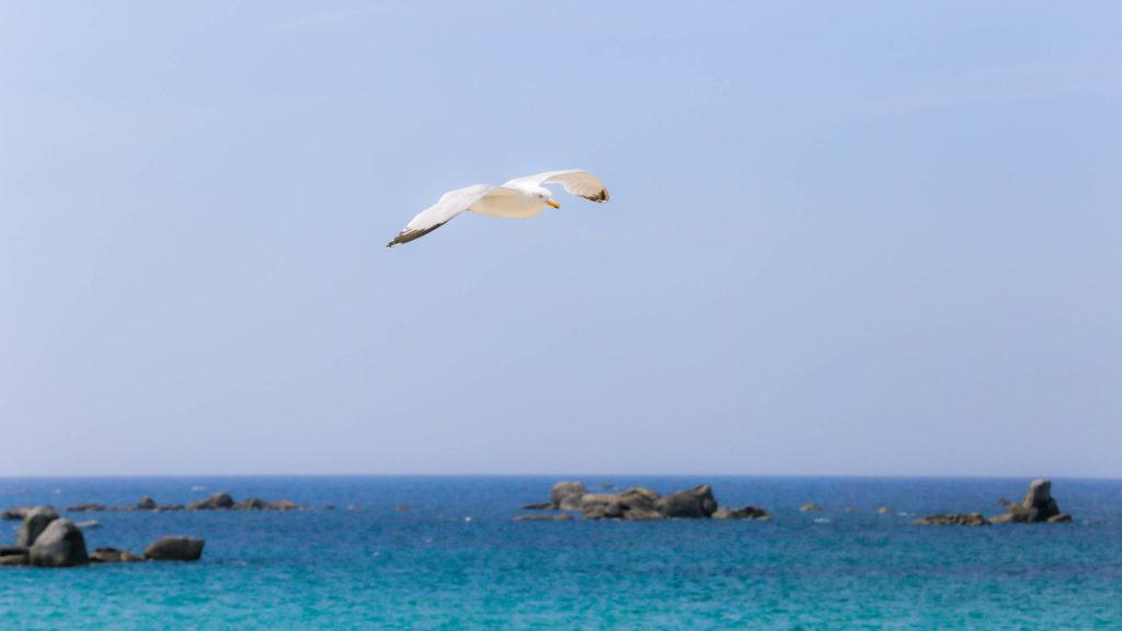 Mouette en vol près de la plage, en bord de mer à Brignogan, Finistère, Bretagne
