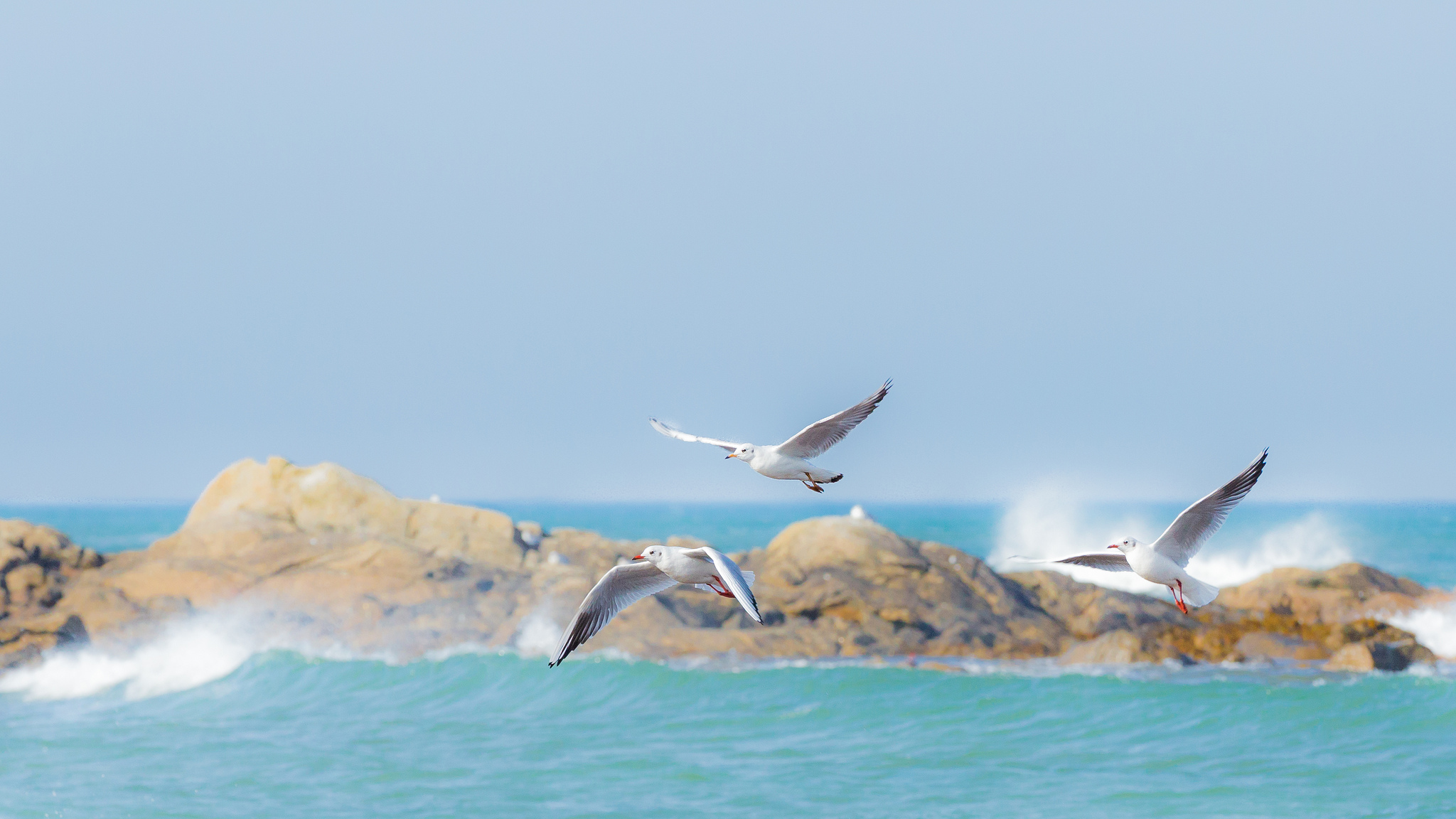 Mouettes vol guisseny Finistere Bretagne